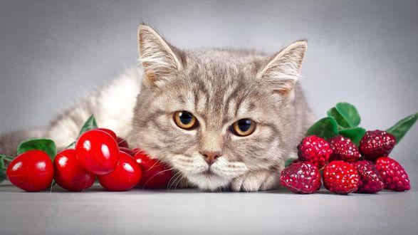 Обои Кот лежит между искусственных ягод малины и вишни