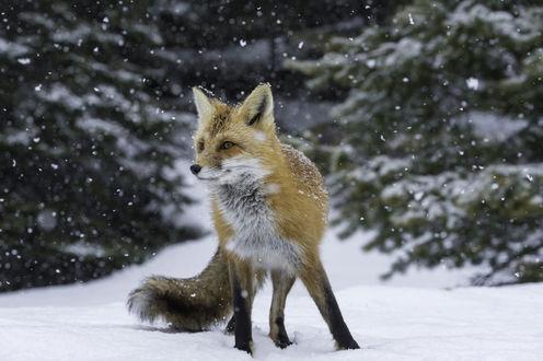 Обои Лиса под падающим снегом