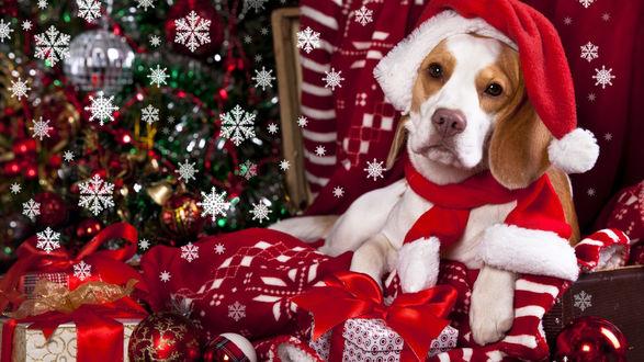 Обои Пес в новогодней шапке лежит на подарках у новогодней елки