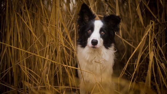 Обои Пес породы Бордер-колли сидит в сухой траве