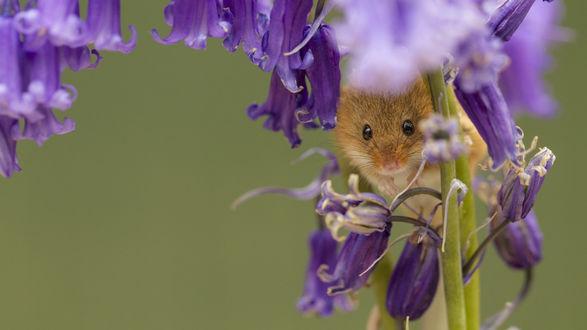 Обои Мышка полевка на стебле цветка