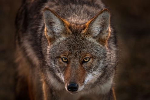 Обои Серый волк, фотограф Nick Kalathas
