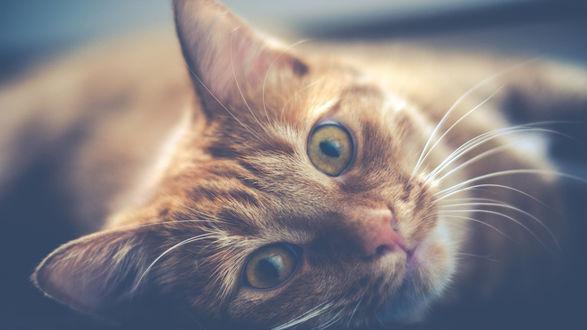 Обои Мордашка кота на размытом фоне