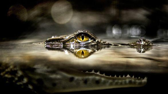 Обои Крокодил затаился в ожидании добычи