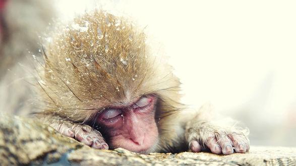 Обои Спящая обезьянка на белом фоне