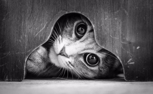 Обои Мордочка котенка, который смотрит на нас через отверстие в деревянной двери