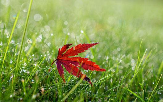 Обои Красный листок лежит на зеленой траве