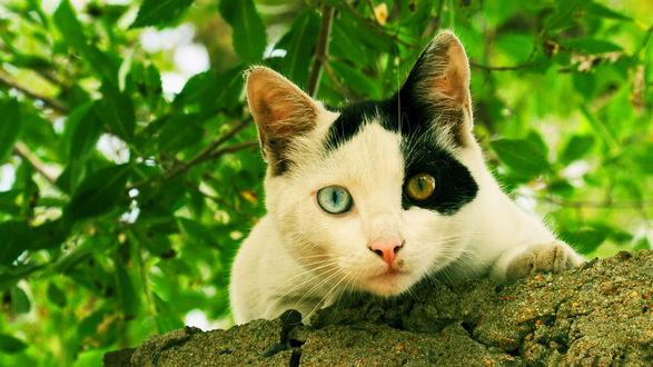 Обои Кошка с глазами разного цвета на фоне зелени