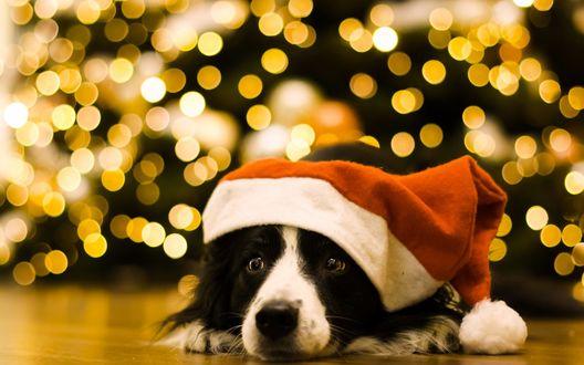 Обои Бордер-колли в новогодней шапочке лежит на полу у елки