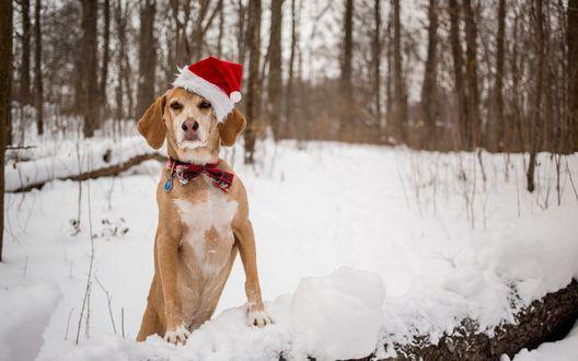 Обои Собака в новогодней шапочке и бантиком на шее в заснеженном лесу