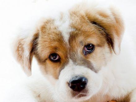 Обои Мордочка щенка бело-рыжего окраса, который серьезно смотрит на нас