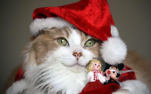 Обои Пушистая кошка в новогодней шапочке