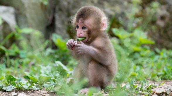 Обои Маленькая обезьянка сидит в траве и ест листья
