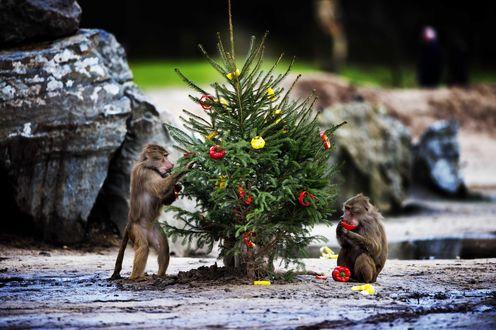 Обои Обезьянки наряжают елку готовятся к Новому Году