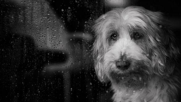 Обои Грустный пес смотрит на дождь за окном