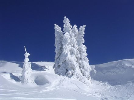 Обои Зима в Альпах - ели укутанные снегом