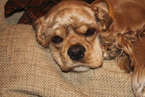 Обои Мордочка грустного спаниеля, лежащего на коврике, фотограф Роман Фарбов