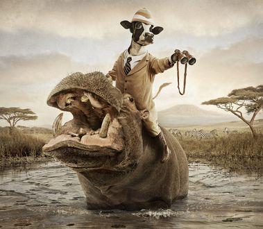 Обои Забавная корова - путешественница верхом на бегемоте в прерии