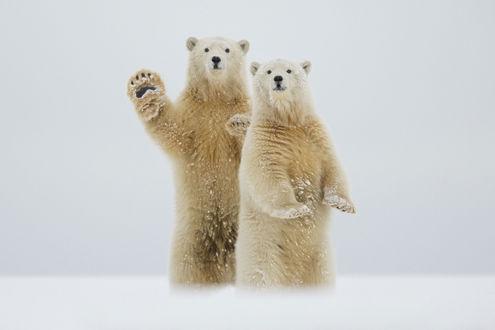 Обои Два дружелюбных белых медведя