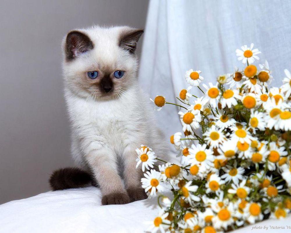 Котята с ромашками картинки