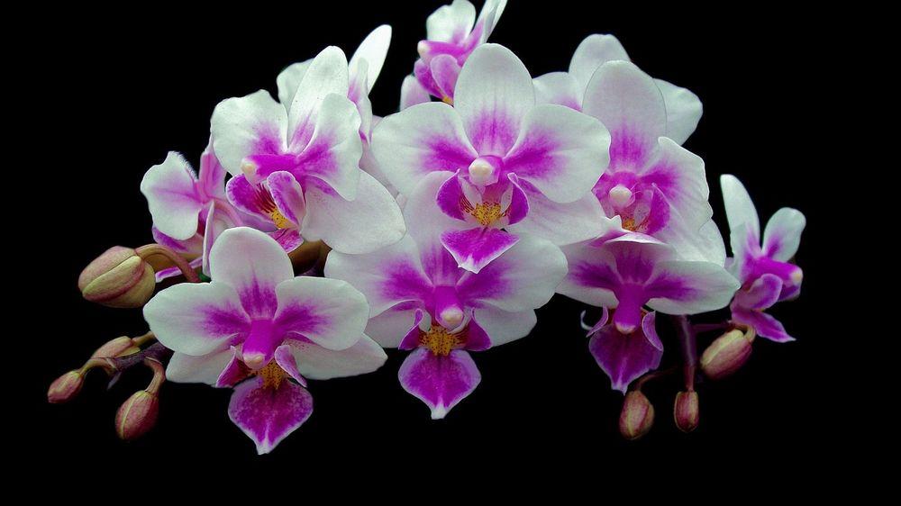 Обои для рабочего стола Нежные бело-сиреневые орхидеи