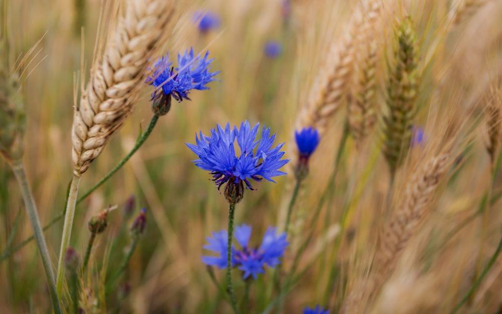 Пшеничные поля с васильками фото