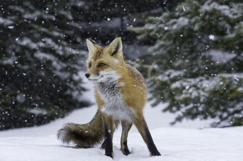 Обои для рабочего стола Лиса под падающим снегом