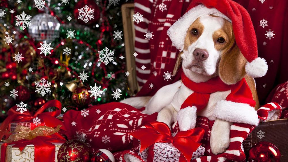 Обои для рабочего стола Пес в новогодней шапке лежит на подарках у новогодней елки
