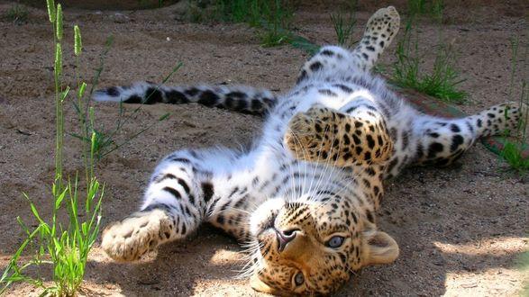 Обои Леопард катается по земле
