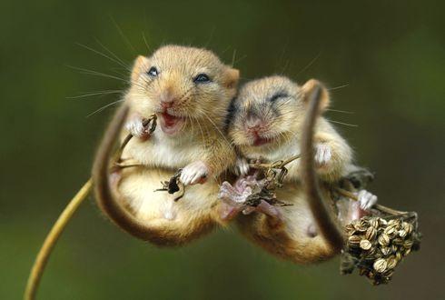 Обои Счастливые мышки полевки на размытом фоне