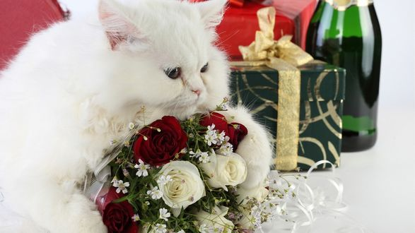 Обои Белая кошка сидит возле букета роз, подарка и бутылки шампанского