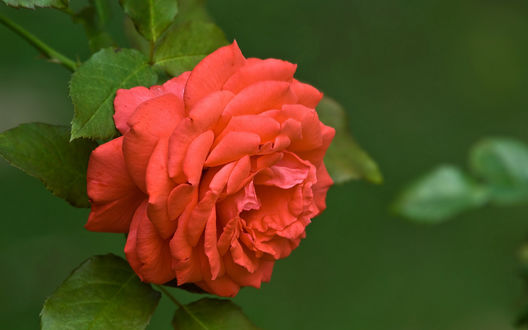 Обои Красная роза на зеленом фоне