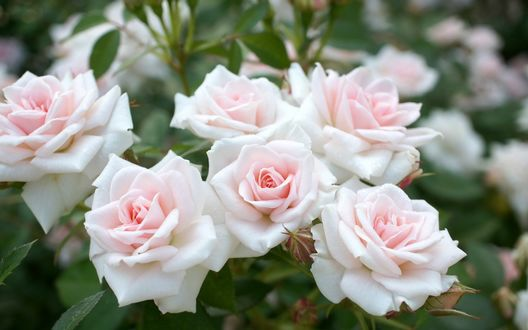 Обои Куст нежных бело-розовых роз