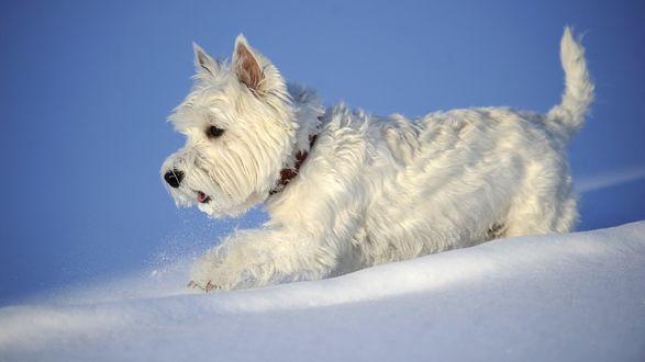 Обои Вест-хайленд-уайт-терьер радуется белому снегу на голубом фоне