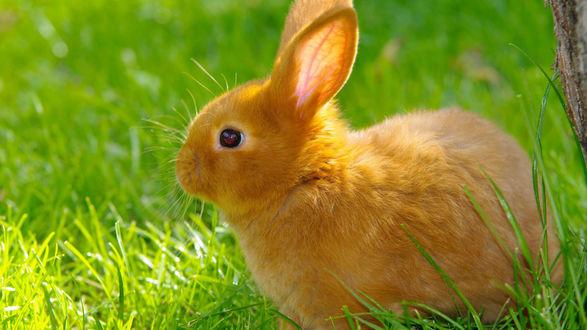 Обои Рыжий кролик сидит в траве