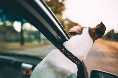 Обои Собака выглядывает из окна движущегося автомобиля, фотограф Александр Малахов