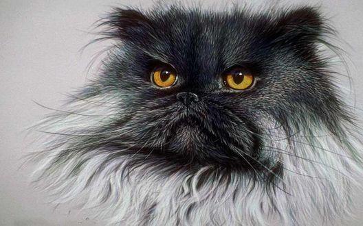 Обои Персидская кошка с желтыми глазами