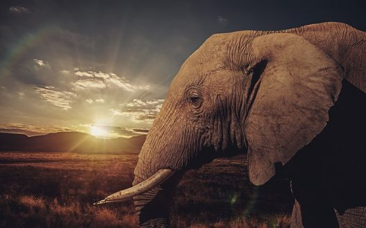 Обои Слон на фоне заката