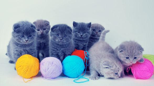 Обои Британские котята у разноцветных клубков