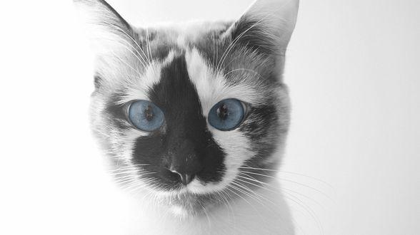 Обои Красивая кошка с голубыми глазами
