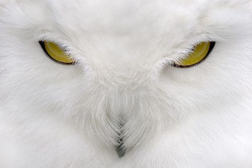 Обои Взгляд желтых глаз полярной белой совы