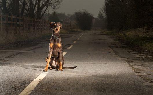 Обои Доберман-пинчер сидит на разделительной полосе асфальтной дороги