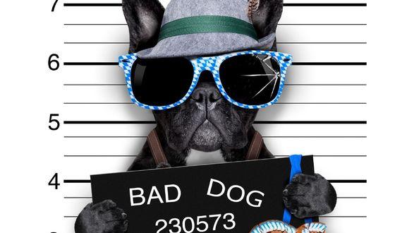 Обои Прикольный бульдог в очках и шляпе держит табличку в лапах (BAD DOG)