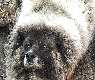 Обои Огромная медведеподобная кавказская овчарка