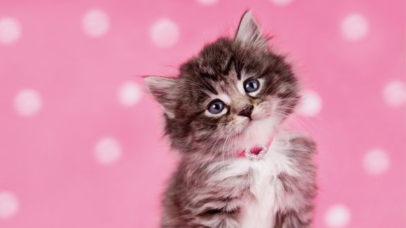 Обои Красивый котенок в ошейнике на розовом фоне