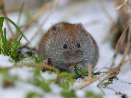 Обои Полевая мышь грызет стебель зеленой травы, сидя в снегу