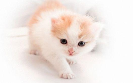 Обои Бело-рыжий котенок на белом фоне