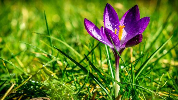 Обои Цветок крокуса в зеленой траве