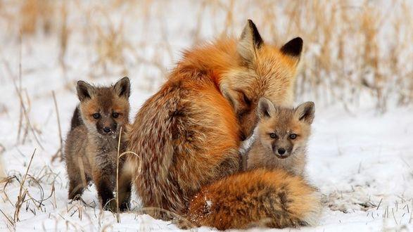 Обои Лисья семья на прогулке