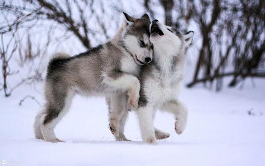Обои Два щенка хаски играют на снегу. Автор фото — Виталий Савосин